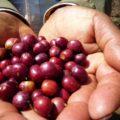 エチオピア-コンガ農協のご紹介です!
